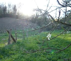 ジュラワインのワイン畑