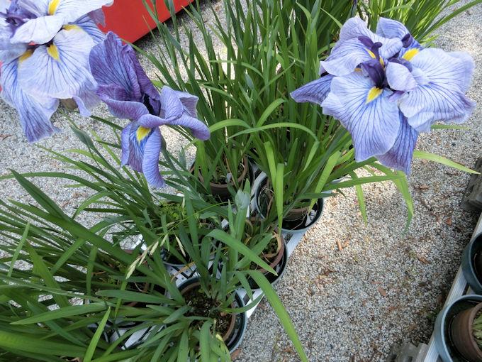 高鴨神社の花.jpg