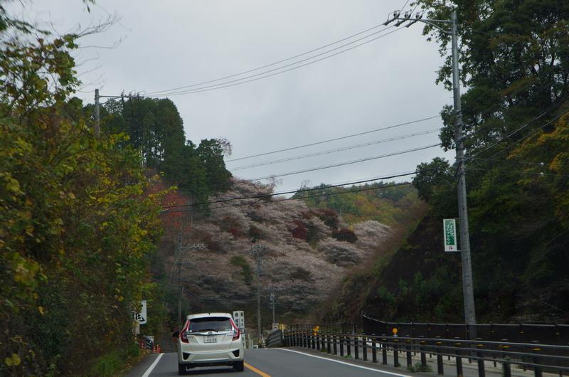 秋に咲くサクラ~四季桜~ | 晴...