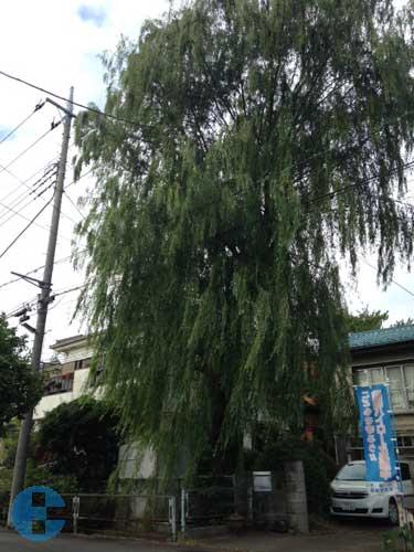 作業前の柳の木