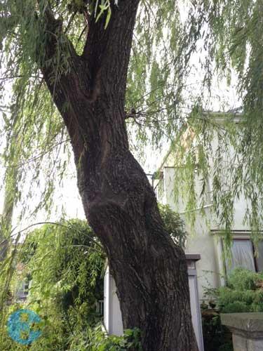 柳の木の幹周り