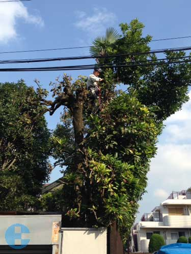 シュロの木と常緑樹