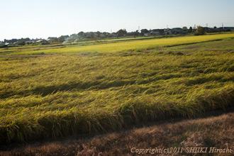 米収穫前2011