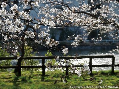 つくばの桜開花