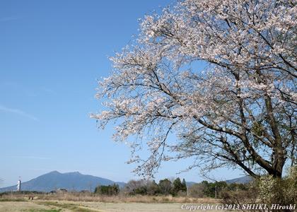 つくばの桜