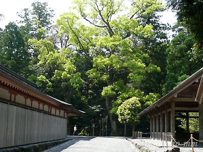 神楽殿正面の楠の新緑