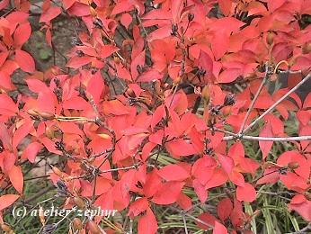 紅葉のドウダンツツジ
