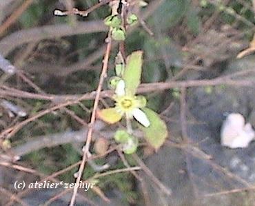 ユキヤナギ芽吹きと花らしきもの