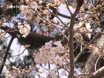 ソメイヨシノの花 4分咲き