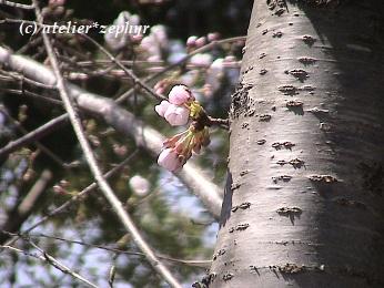 幹から直接伸びるソメイヨシノの花とつぼみ