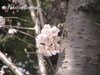 幹から直接伸びるソメイヨシノの花