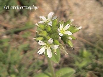 オランダミミナグサの花
