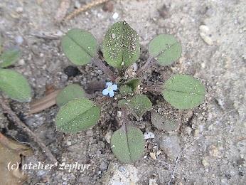 キュウリグサの花一輪と葉