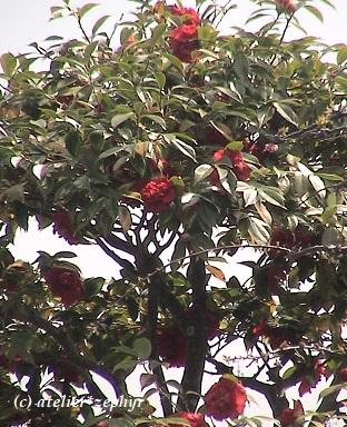 八重咲き紅いツバキ