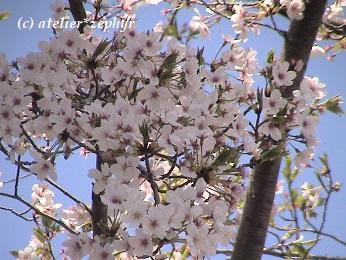 ソメイヨシノの花 やや葉桜