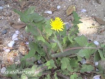 オニノゲシらしき花