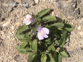 トキワハゼの花