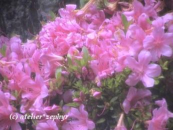 マゼンタ色のツツジの花