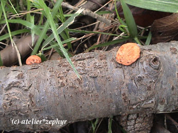 ヒイロタケ幼菌