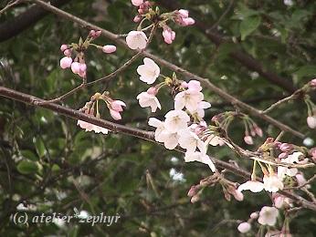 咲き始めのソメイヨシノ 2019年