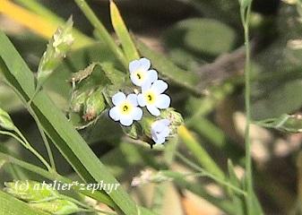 キュウリグサの花