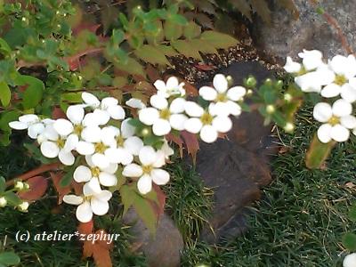 ユキヤナギの花