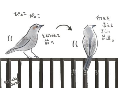 ヒヨドリ フェンスを歩く時の動作
