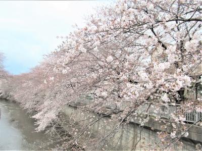 練馬石神井川 サクラ
