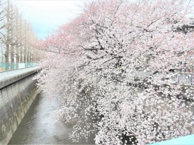 練馬 石神井川 桜