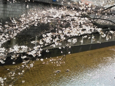 石神井川 お花見 桜