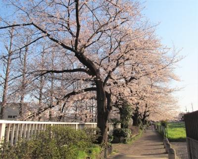 練馬区 桜 石神井川