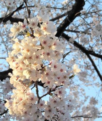 桜 練馬 お花見