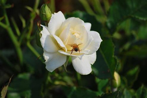 ハチとバラ