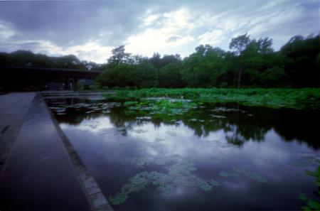 日本庭園の蓮1