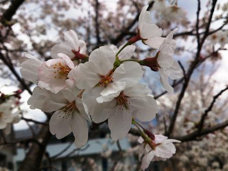 h260404:竜宮公民館の桜002