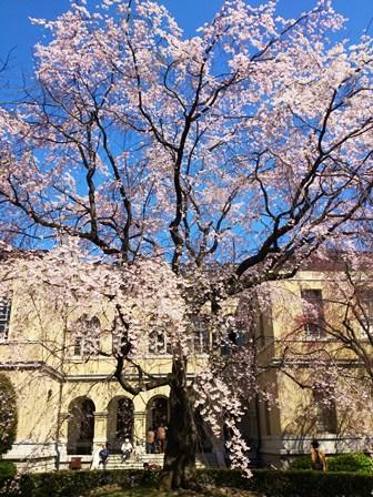 h260401:府庁の桜001
