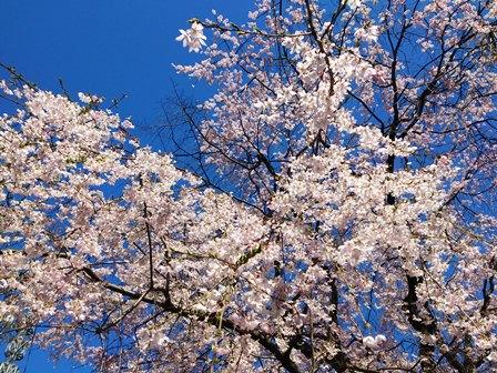 h260401:府庁の桜002