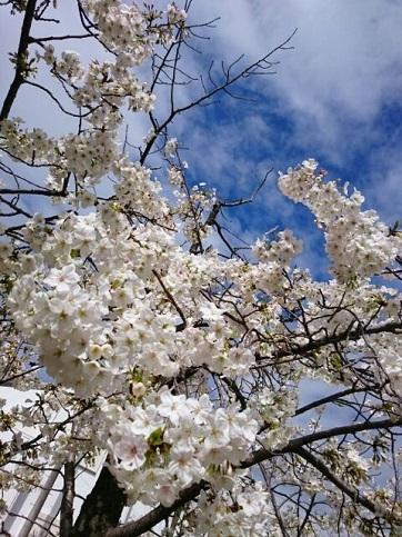H28.04:桜 001