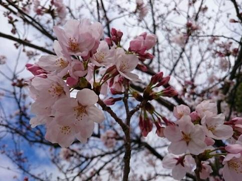 H28.04:桜 002