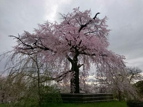 H28.04:桜 003