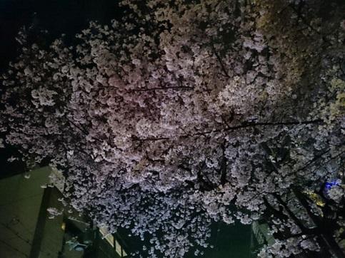 H28.04:桜 006