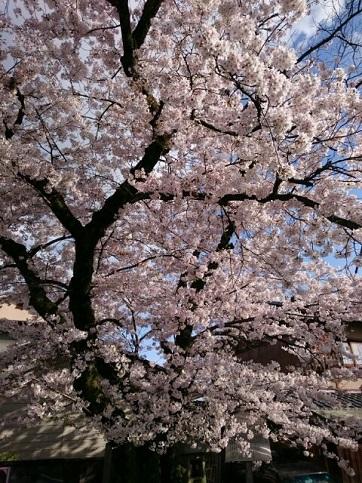 H28.04:桜 009