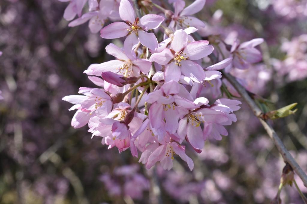 平沢小学校の枝垂桜