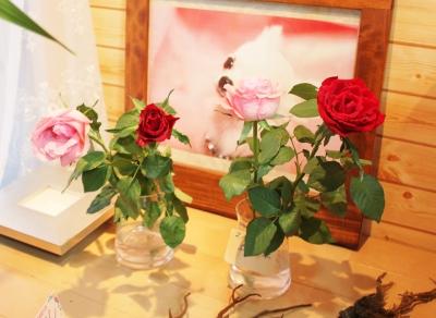 お花 バラ 日持ちテスト いわき市 小名浜の花屋 花国湘南台店