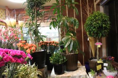 観葉植物 インテリア グリーン いわき市 小名浜の花屋 花国湘南台店