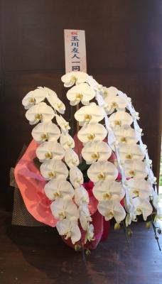 胡蝶蘭 開店祝い いわき市小名浜の花屋 花国湘南台店