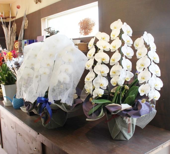 新盆、胡蝶蘭、 お供え、いわき市小名浜の花屋,花国湘南台店