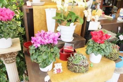 多肉植物、いわき市,小名浜,花屋,花国湘南台店