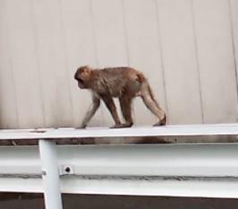 猿、さる、サル、いわき市,小名浜,花屋,花国湘南台店