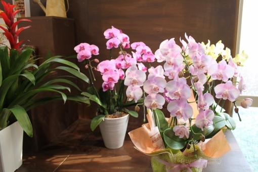 お祝い、胡蝶蘭、いわき市,小名浜,花屋,花国湘南台店